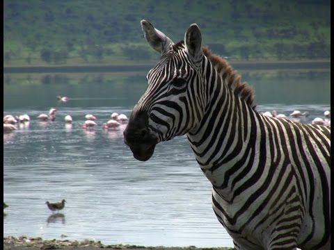 "Funny Talking Animals: Zebra Sings ""Single Ladies"""