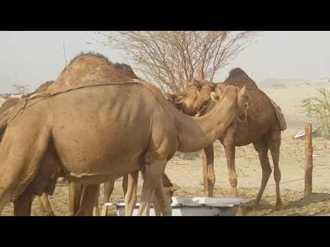 Ladang onta di padang pasir saudi arabia