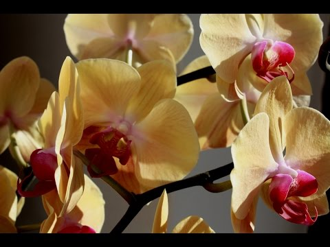Орхидея фаленопсис Golden Beauty .Результат правильного ухода.Пышное цветение.