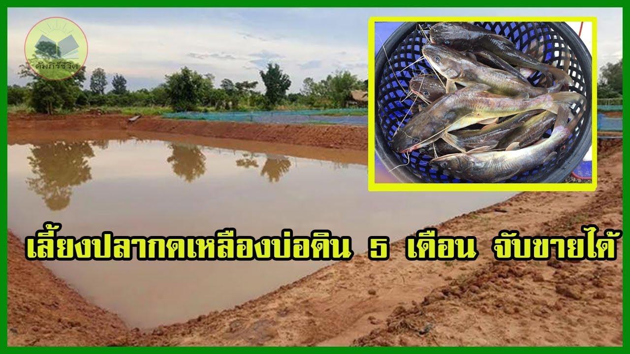 เลี้ยงปลากดเหลืองบ่อดิน | 5 เดือน จับขายได้ |