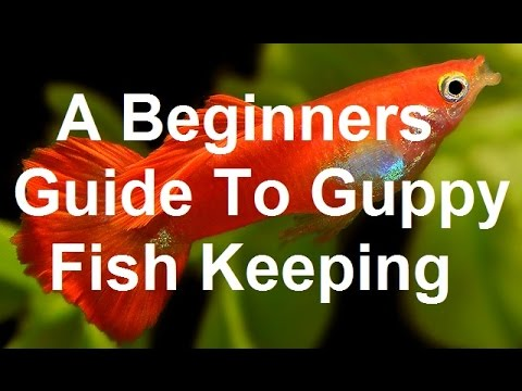 The best beginners guide to guppy fish keeping youtube for Beginners guide to fishing