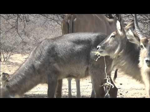 Motsomi Safaris Bow Hunt Waterbuck Williams