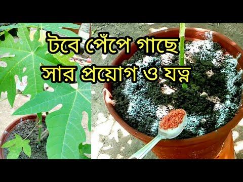 টবের পেঁপে গাছে সার প্রয়োগ,যত্ন ও আপডেট/How and which fertilizer use for papaya plant