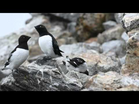 Little Auk in Svalbard