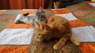 Продажа котят мейн-кун из питомника.