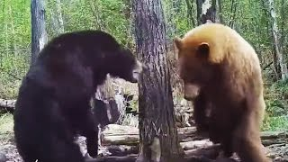 Bear attacks another bear! Fight caught on game camera - Warning: Violent content