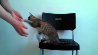 """Выполнение трюка """"Дай лапу"""" - дрессировка кошек"""