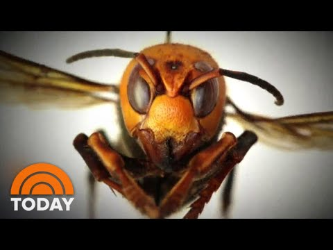 'Murder Hornets' Arrive In US   TODAY