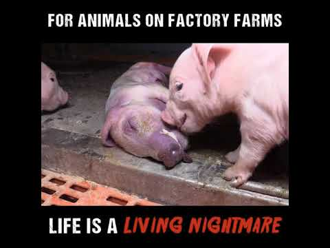 For Animals On Factory Farms Life Is A Living Nightmare