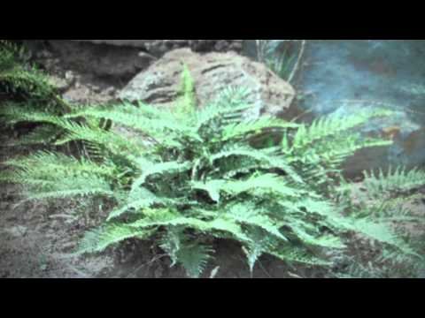 Golden Fern For Sale .89 Cents From Tn Online Tree Nursery