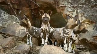 África do Sul selvagem   Animais de Kalahari