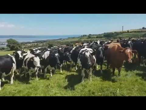 Hilarious video shows cows completely mesmerized by traditional Irish music