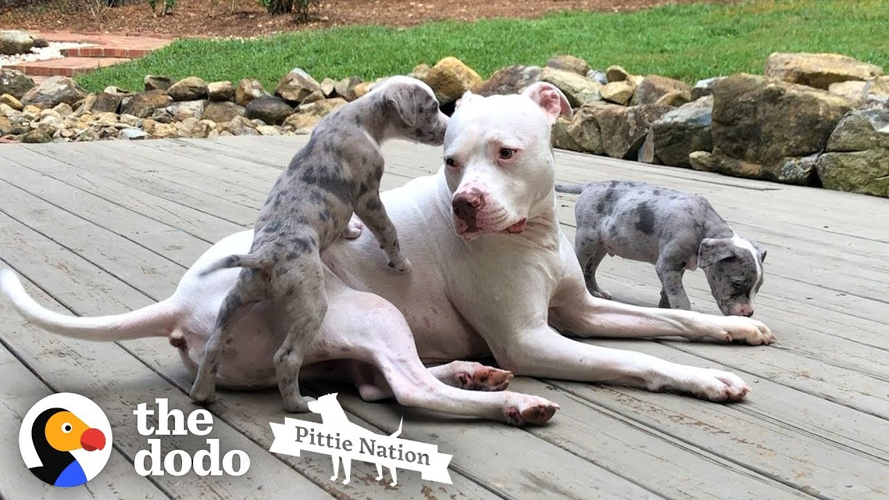 Pittie Teaches Foster Puppies How To Dog  | The Dodo Pittie Nation