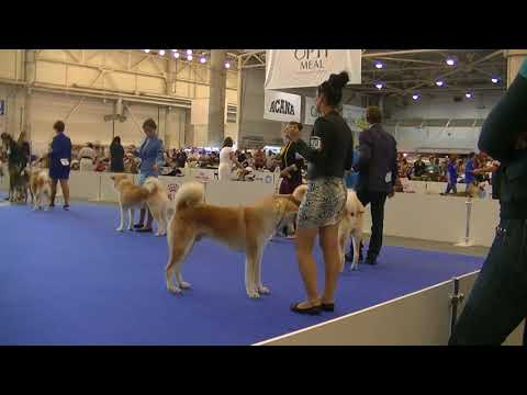 Japanese Akita Euro Dog Show 2017 B
