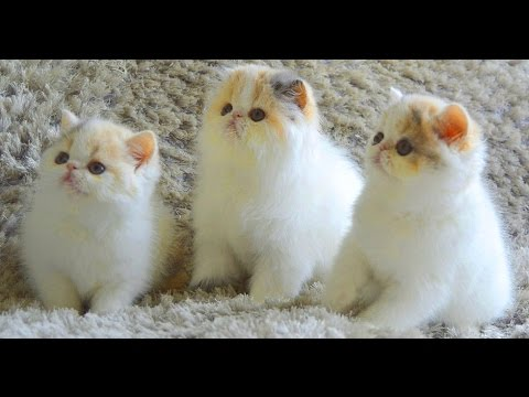 Exotic Shorthair Cat and Kittens | Really Amazing and Nice!