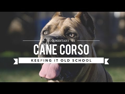 CANE CORSO KEEPING IT OLD SCHOOL