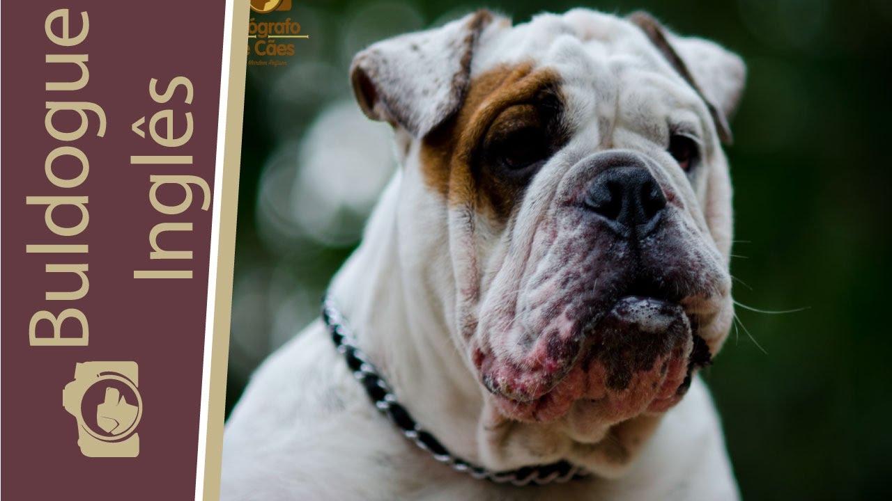 Buldogue Inglês Saiba Um Pouco Mais Sobre Essa Raça Bulldog Ingles