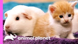 These Domestic Short-Haired Kittens Have A New Furry Friend! | Too Cute!
