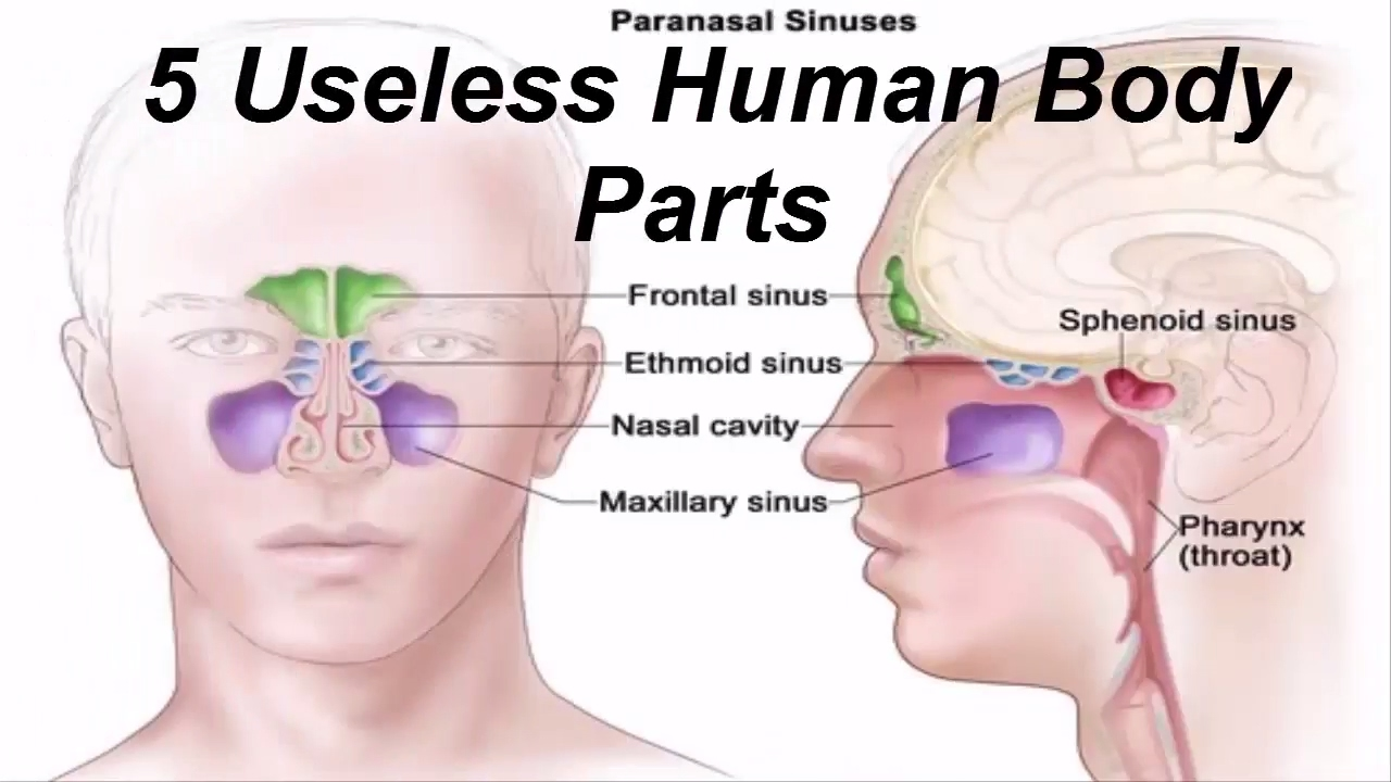 Useless Human Body Parts Top 10 Useless Parts Of The Human Body