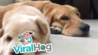 子犬が睡魔と戦ったけど…あっさり負けてしまう(動画)