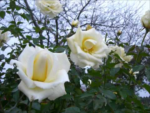 misia everything sang by jin kanoya rose garden wmv
