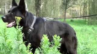 German Shepherd Wearing Training Leather Dog Harness