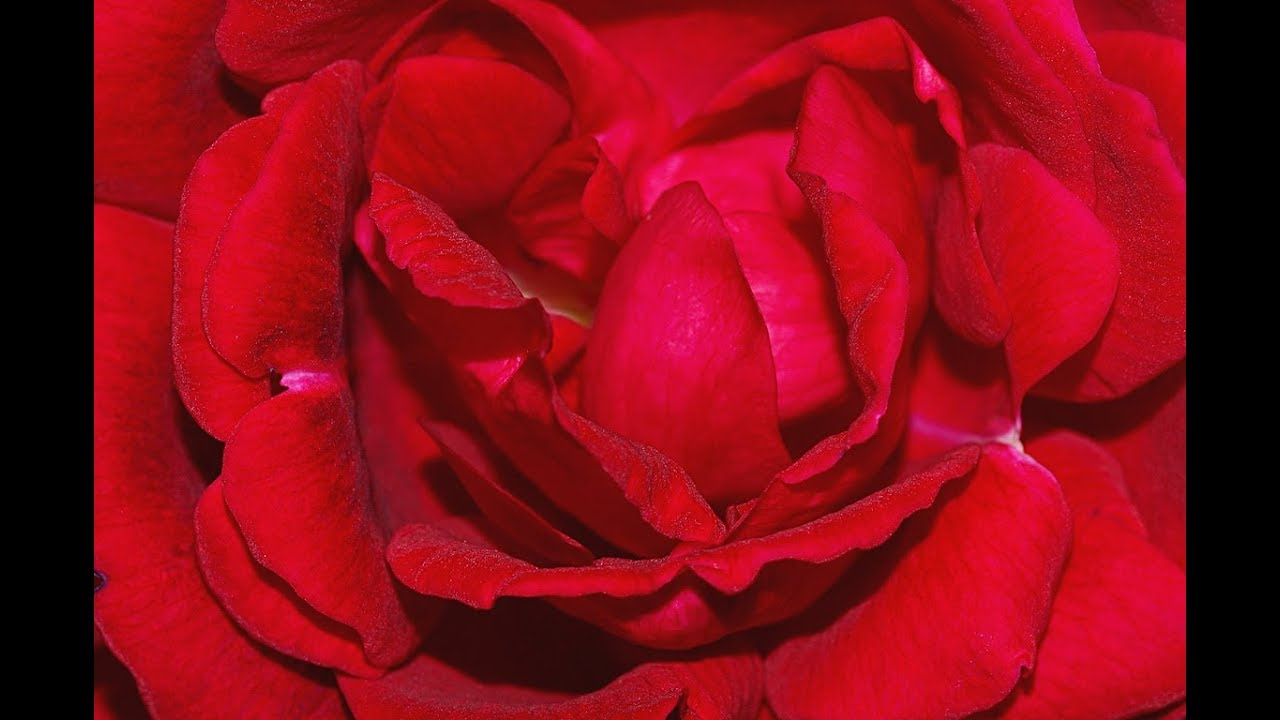 Robert Burns My Love Is Like A Red Red Rose Poem