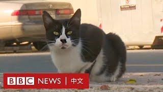 肺炎疫情:懷孕貓咪遭主人棄養 熱心人拯救流浪寵物- BBC News 中文