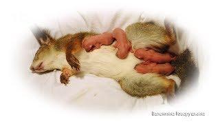Роды домашней белочки/ Genera of squirrel Sasha/Geburt Eichhörnchen