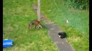 Fox v Cat