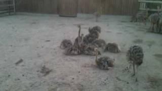 Страусята купаются в песке