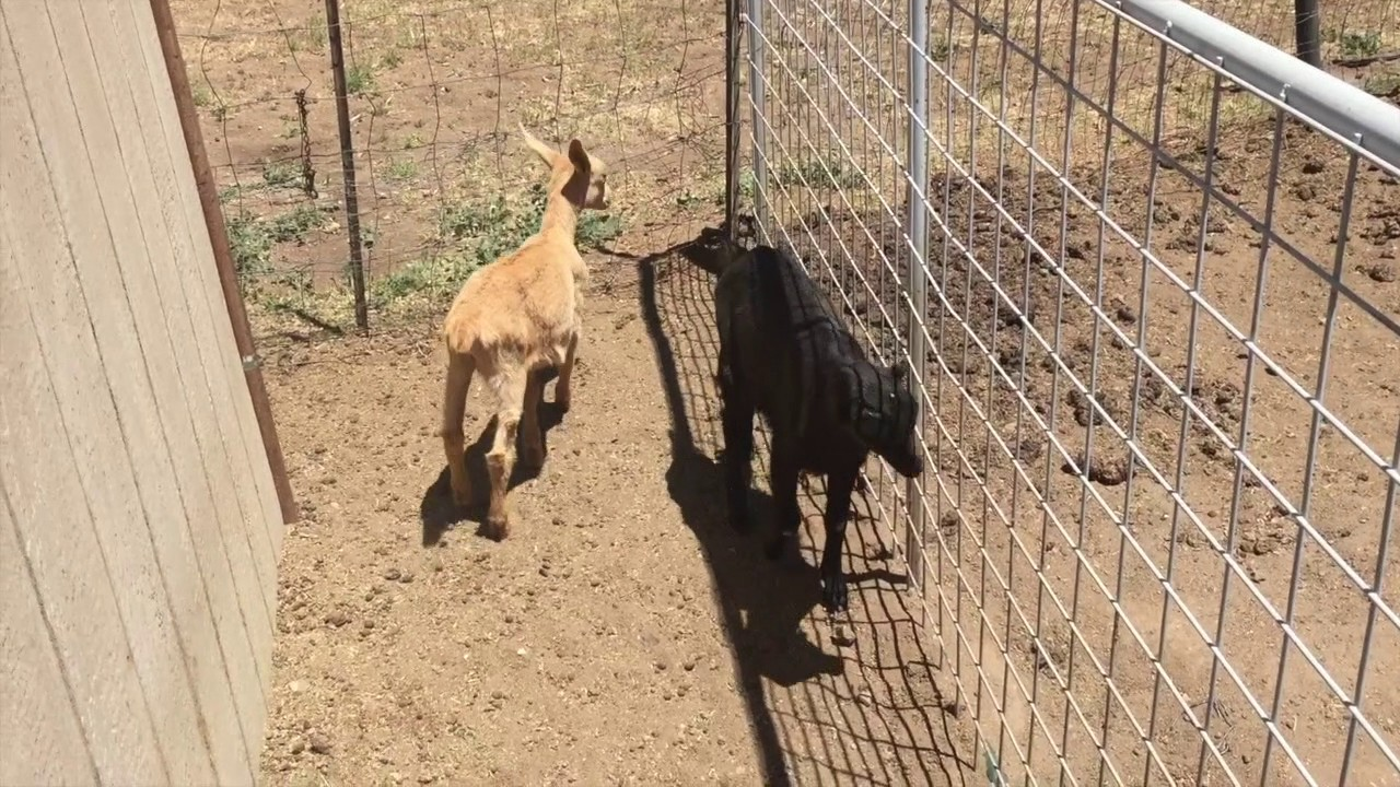 Automatic Waterer for Goats & Pigs DIY