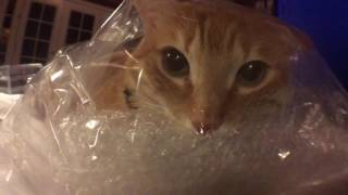 Adorable cat loves to hang out in his plastic bag.