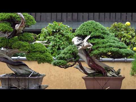 [4K] Shunkaen Bonsai Art Museum 2018 Autumm from YouTube · Duration:  3 minutes 52 seconds