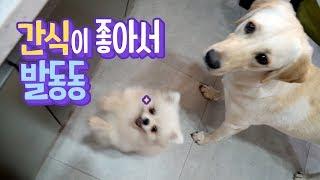 귀여움끝판왕 🐶 간식이 좋아서 발동동 구르는 강아지
