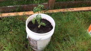 Как подвязывать рассаду томатов, огурцов, перцев и баклажан.(В этом видео я рассказываю, как можно подвязать рассаду. Конечно способов очень много, но этот способ подвяз..., 2015-05-20T19:21:25.000Z)