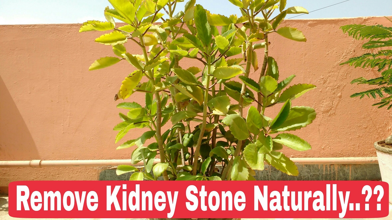 Patharchatta for stone, How to remove Kidney stone Naturally, patharchatta  plant, leaf of life