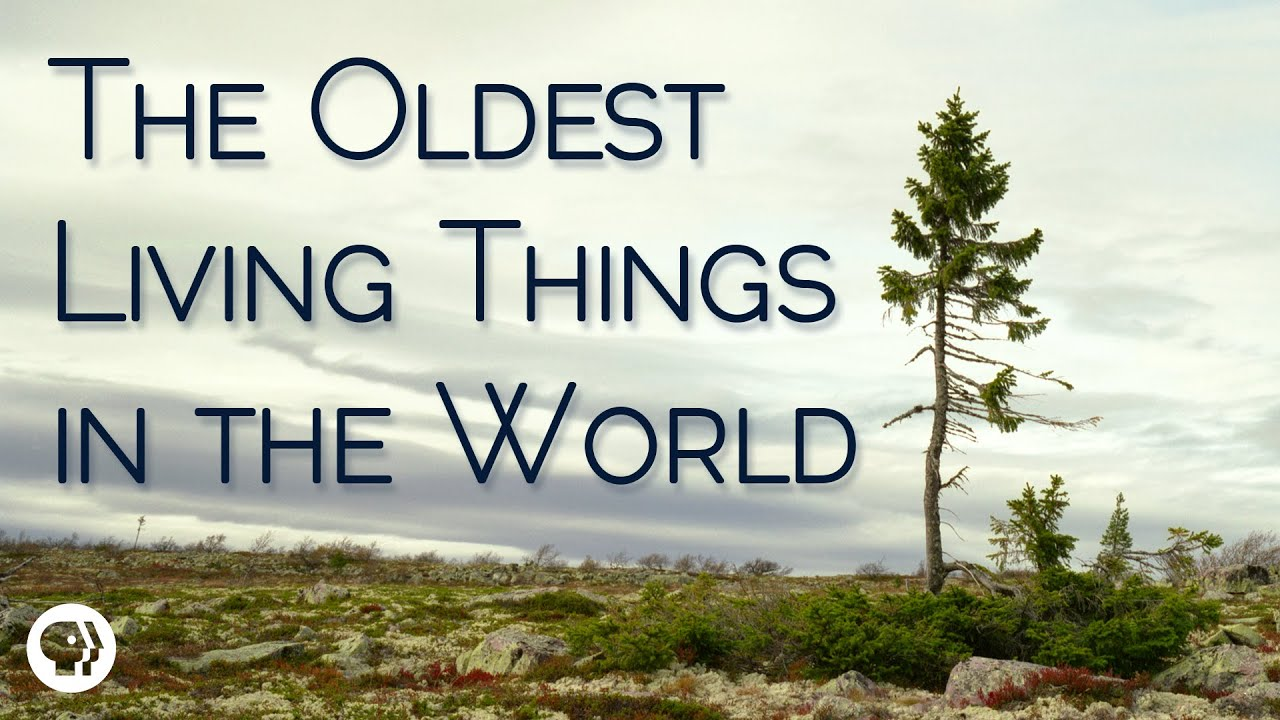 The Oldest Living Things In The World   YouTube