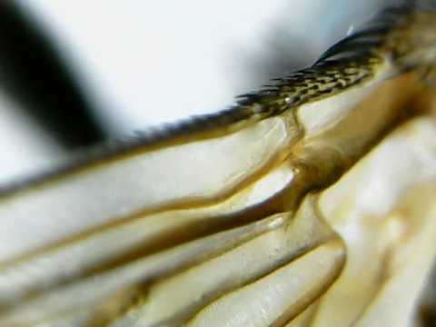 Fly Insect wings under microscope