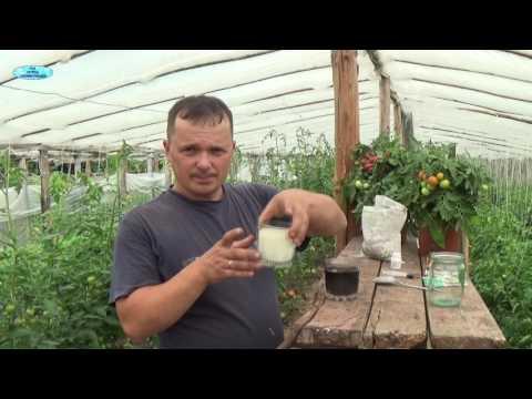 СУПЕР ПОДКОРМКА ПОМИДОР!!!!! Обязательно попробуйте!!! | выращивание | выращивани | помидоров | помидоры | повысить | томатов | помидор | урожай | томаты | завязь