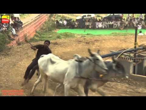 FARWALA (Jalandhar)   BULL HALTI RACES    ਬਲਦਾਂ ਦੀਆਂ ਹੱਲਟ ਦੌੜਾਂ - 2016    Full HD    Part 3rd