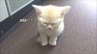 かわいい小さな子猫 睡魔にフラフラ Sleeping face of kitten thumbnail