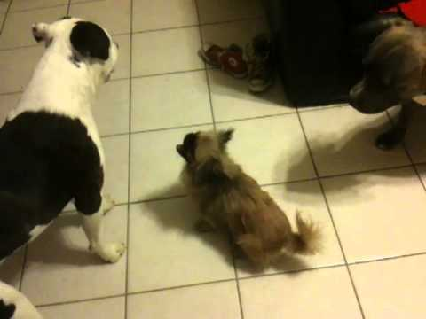 Two Pit bull Attack Small Dog