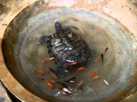 Kura-Kuraku Sarapan Ikan