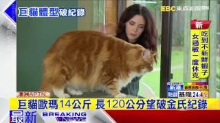 最新》超大隻「網紅」貓咪 望成世界最長的貓