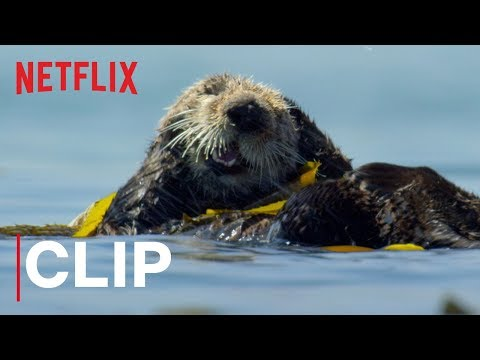 These Adorable Otters Are Getting All Gussied Up for the Weekend in Netflix's Our Planet