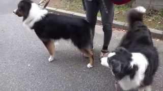 ボーダーコリーの看板犬ローザ 散歩。 ブログ→ http://ameblo.jp/kutsuz...