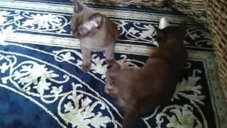 Котята Бурмы.
