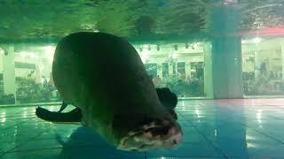 Cá Hải Tượng 20 năm tuổi  _ trạm dừng chân Minh Phát