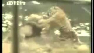 tiger vs lion tiger wins the fight